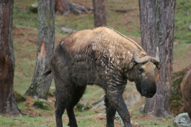 takin-national-animal-of-bhutan